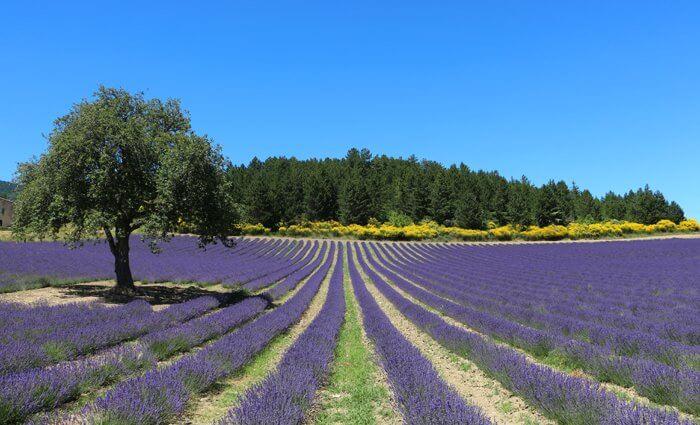 ERV Blog Lavendelfeld in der Provence