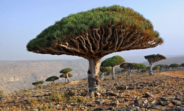 Drachenbäume Socotra