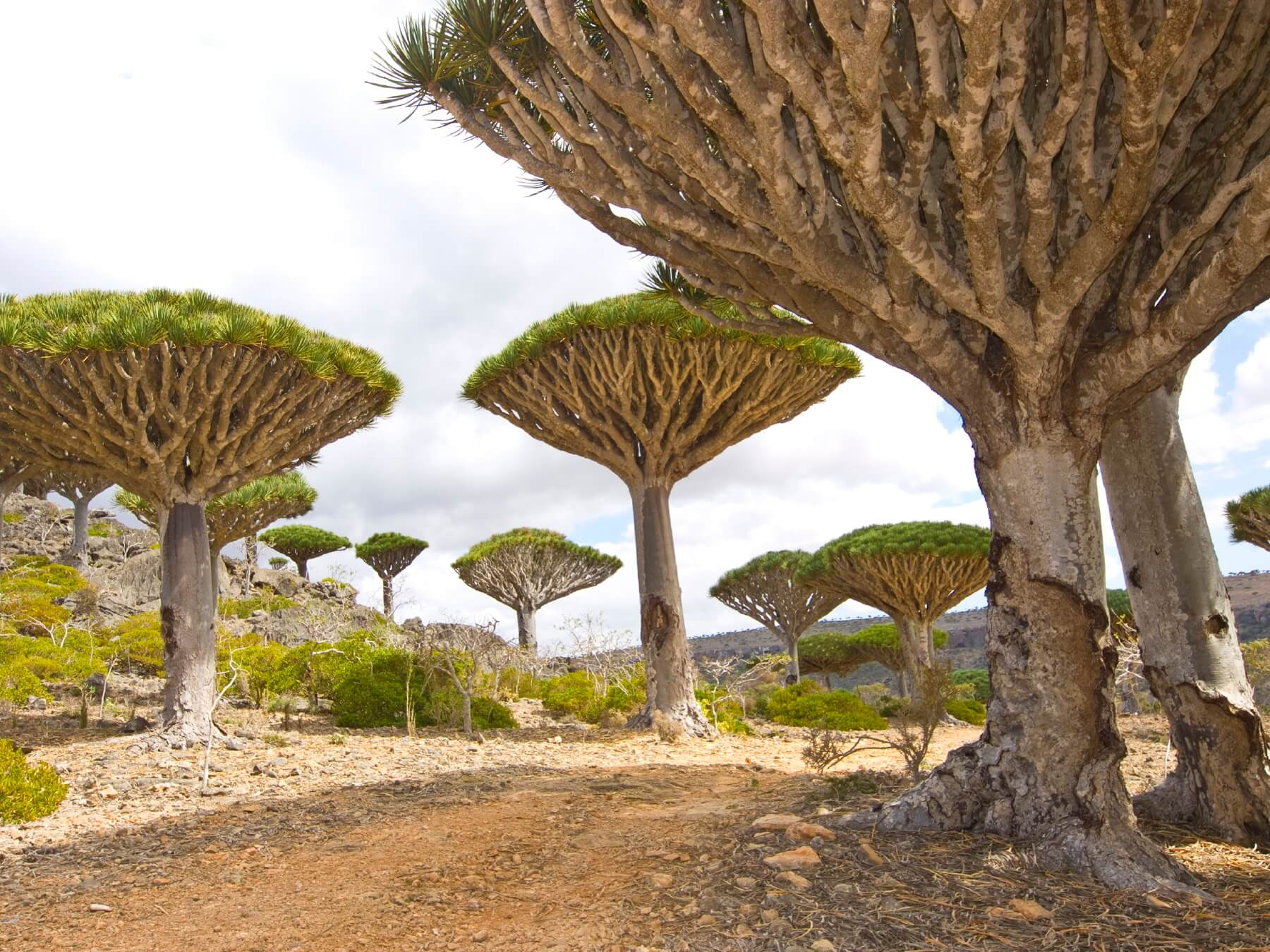 Drachenbäume Sokotra