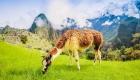 Peru Alm Alpaka