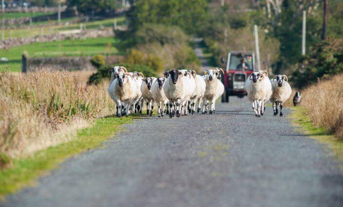 Schafe auf den Straßen in Irland