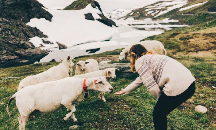 Frau fuettert Schafe in Norwegen