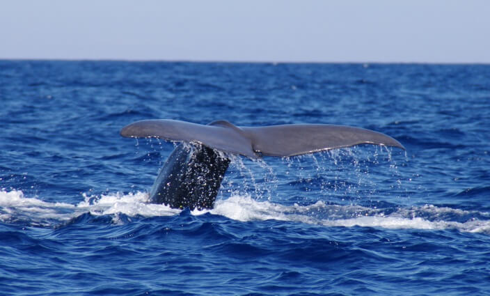 Whale Watching Azoren