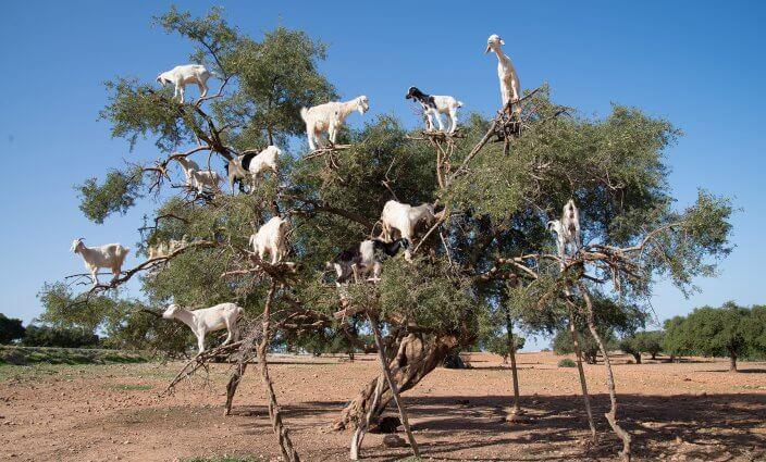 Ziegen auf Argan Baum in Marokko